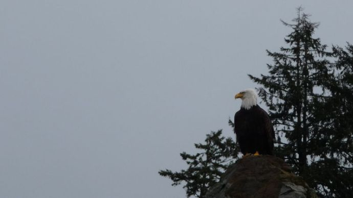 hey bald eagle!