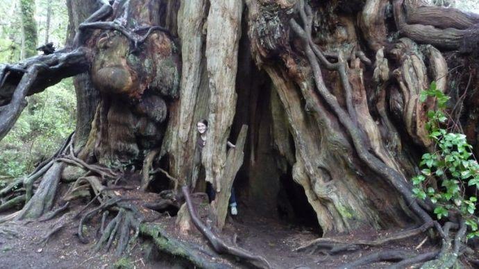 big 'ol cedar tree.